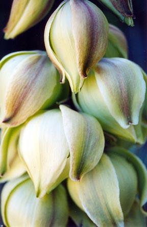 yucca_elata_bloom