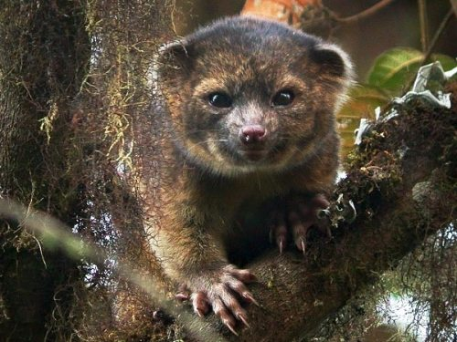 new-rare-species-mammal-olinguito-teddy-bear-tree_70488_600x450